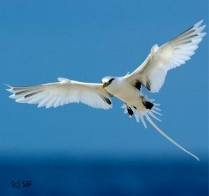 WT tropicbird-01.jpg