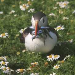 Adult puffin with fish for its chick (C Bench)